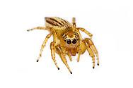 Jumping Spider (Colonus sp.)<br /> TEXAS: Jasper Co.<br /> Boykin Springs Recreational Area; Angelina National Forest<br /> Pitcher Plant Bog on gas pipeline easement<br /> 16-Apr-2015<br /> 31.063495 -94.279479 <br /> J.C. Abbott #2729 &amp; K.K. Abbott