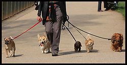 Five dogs feel the heat  as they go out for a walk in Hyde Park, London,  Friday 23rd March. Photo by: Stephen Lock / i-Images