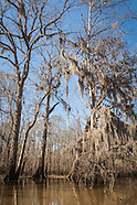 Altamaha River: Miller Lake Cypress Trees