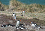 Gentoo penguins navigate around a fence to reach their colony high up on a grassy hill.
