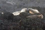 Harbor Seals near Machias Seal Island, Maine