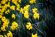 Daffodils, Oxfordshire, United Kingdom UK