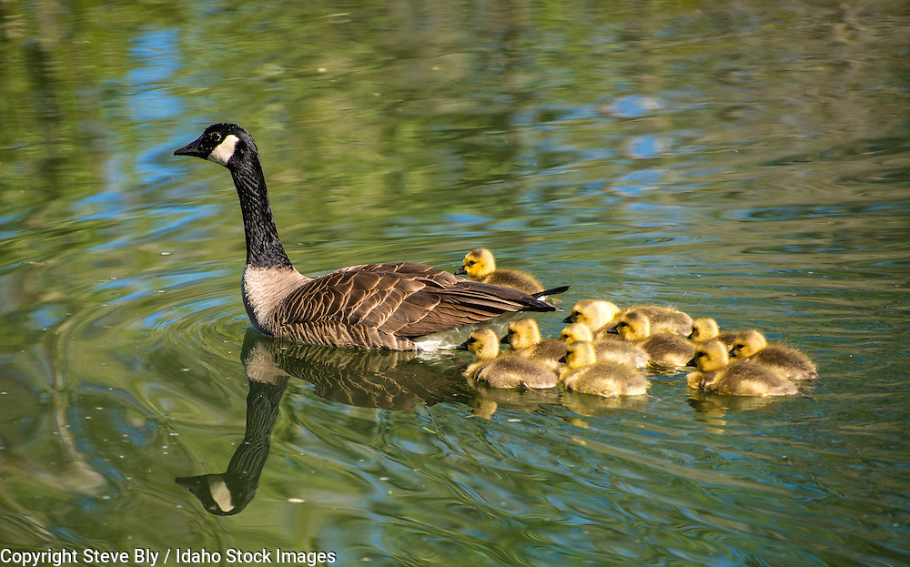 Canada goose mother swimming with newborn chick goslings in Idaho Lake