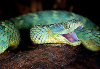 Variable Bush Viper(Atheris squamigera)