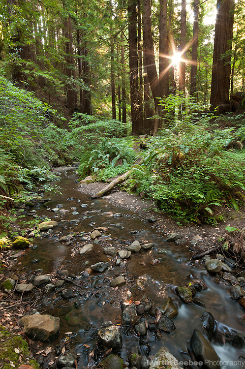 Sun rising through redwoods along Purisima Creek, Purisima Creek Redwoods Open Space Preserve, California