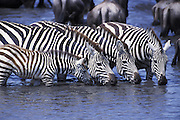 Plains Zebra<br /> Equus burchelli<br /> Young foal and adults drinking at waterhole<br /> Ngorongoro Conservation Area, Tanzania