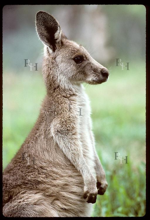 Smallest and furriest of the kangaroos, this wallaroo, or euro, poses sideways; Wagga Wagga, NSW Australia