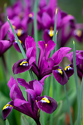 Iris reticulata 'Purple Hill'