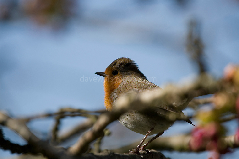 Erithacus rubecula - European Robin with raised crest, being territorial. Robins can be very aggressive.