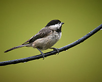 Black-capped Chickadee. Image taken with a Nikon D5 camera and 600 mm VR lens