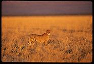NAMIBIA 40201: CHEETAHS
