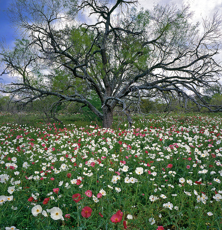 White and rose prickly poppies (Argemone albiflora v. texana, Argemone sanguinea), Atascosa County, TX / #STX017