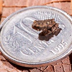"""Sapinho encontrado às margens da lagoa da Fazenda Cupido & Refúgio. Este era um dos milhares de filhotes minúsculos que não ultrapassavam 8 milímetros de tamanho.<br /> EGLISH: Frog baby found near the lake margins of """"Cupido & Refúgio"""" Farm. This was one of thousands of tiny little frogs that did not exceed 8 mm in size."""