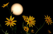 ZAOZHUANG, CHINA - SEPTEMBER 27: (CHINA OUT) <br /> <br /> <br /> Picture shows the full moon with flowers during the Mid-Autumn Festival on September 27, 2015 in Zaozhuang, Shandong Province of China. The Mid-Autumn Day falls on Sep 27 this year. <br /> ©Exclusivepix Media