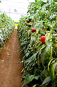 Israel, Jordan Valley, Doshan Farm, Organic Bell Peppers (Capsicum annuum) in a greenhouse The ripe fruit on a bush
