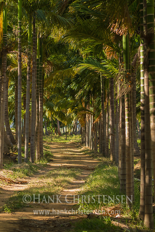 A dirt road meanders through coconut trees, Tamil Nadu, India.