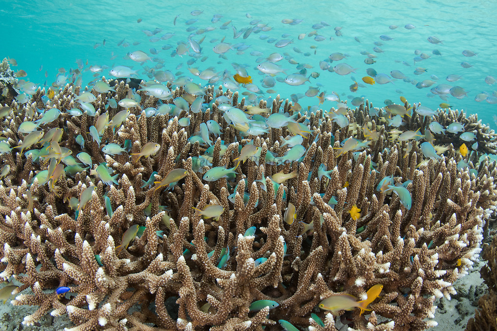 Staghorn Coral (Acropora formosa) &amp;<br /> reef fish<br /> Raja Ampat<br /> Indonesia