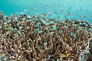 Staghorn Coral (Acropora formosa) &amp;<br /> reef fish<br /> Raja Ampat<br /> Indonesia
