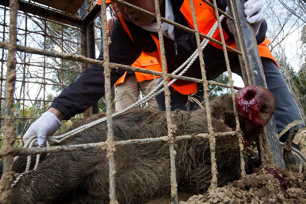 TOMIOKA TOWN, JAPAN - MARCH 30 : Members of Tomioka Town's animal control hunters group, killed a wild boar roaming around residential area in an evacuation zone near Tokyo Electric Power Co's (TEPCO) tsunami-crippled Fukushima Daiichi nuclear power plant in Tomioka town, Fukushima prefecture, Japan, March 30, 2017. According to team leader Shoichiro Sakamoto, The damage made by the wild boar became very big, and the damages became very serious issue among residents. (Photo by Richard Atrero de Guzman/NUR Photo)