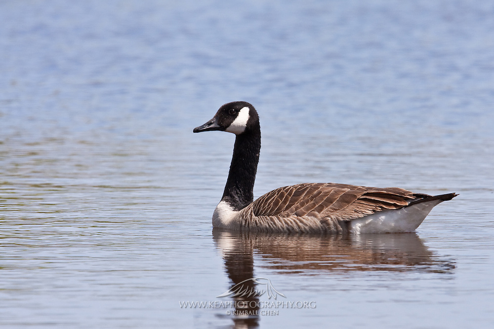 Canada Goose, Travis Wetland, New Zealand