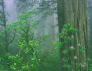 Redwoods and blooming rhododendrons in the fog, Del Norte Coast Redwoods State Park, California