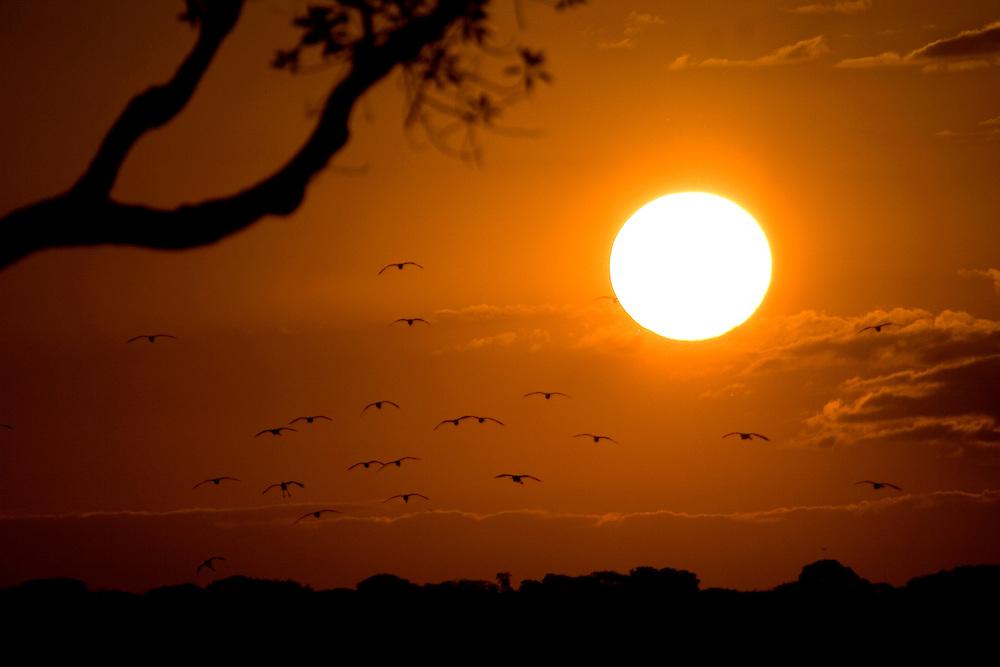 Aquidauana_MS, Brasil...Revoada de passaros no por-do-sol Aquidauana, Mato Grosso do Sul...The birds flying in Aquiduana, Mato Grosso do Sul...FOTO: JOAO MARCOS ROSA / NITRO