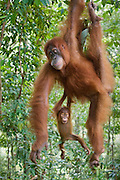 Sumatran Orangutan<br /> Pongo abelii<br /> Playful 1.5 year old baby hanging from mother<br /> North Sumatra, Indonesia<br /> *Critically Endangered