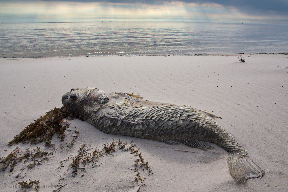 A red tide ( toxic algae growth)  was blaimed for a fish kill event that also killed many ducks and some mammals along beaches in Mississippi along the Gulf of Mexico that started at the deginning of December and continued through the end of the month. Warming tempatures caused by climate change,  make 'red tide' conditions a growing problem on the Gulf Coast.