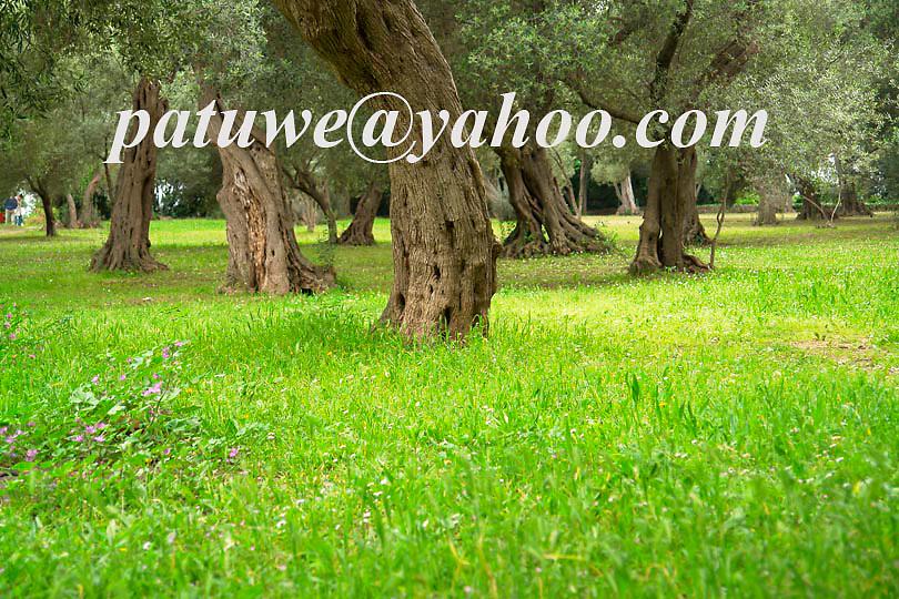 Old Olive tree in Lokrum island, Dubrovnik, Balkens, Dalmatia, Adriatic coast, Croatia