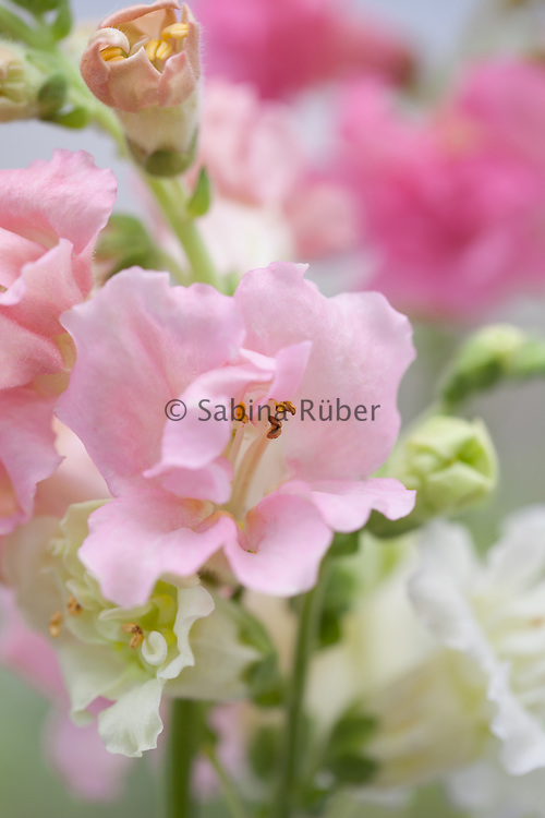 Antirrhinum 'Madame Butterfly' Double Mixed - snapdragon