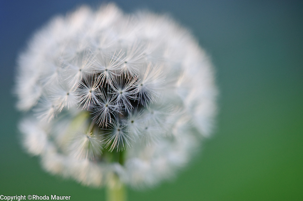 the beauty of a dandelion