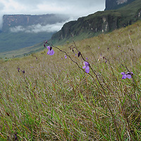 Flowers of a giant carnivorous bladderwort (Utricularia humboldtii) emerging from swampy grassland at the base of Mount Roraima.