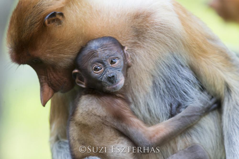 Proboscis Monkey<br /> Nasalis larvatus<br /> Mother and infant<br /> Sabah, Malaysia