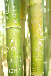Giant Bamboo with graffiti carved