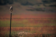 Burrowing Owl, Road between NAF and Almo, Idaho.