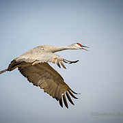 Sandhill Crane calling in flight, rural Nebraska