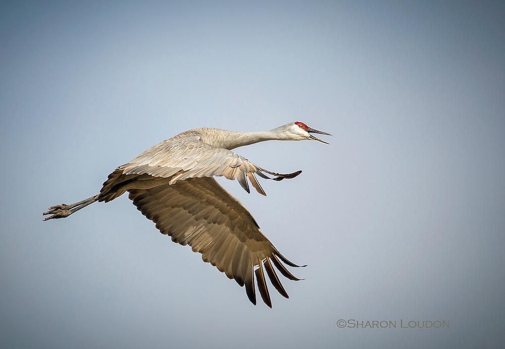 Sandhill Crane calling in flight, rural Nebraska