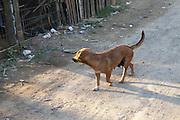 A dog walks down the street.
