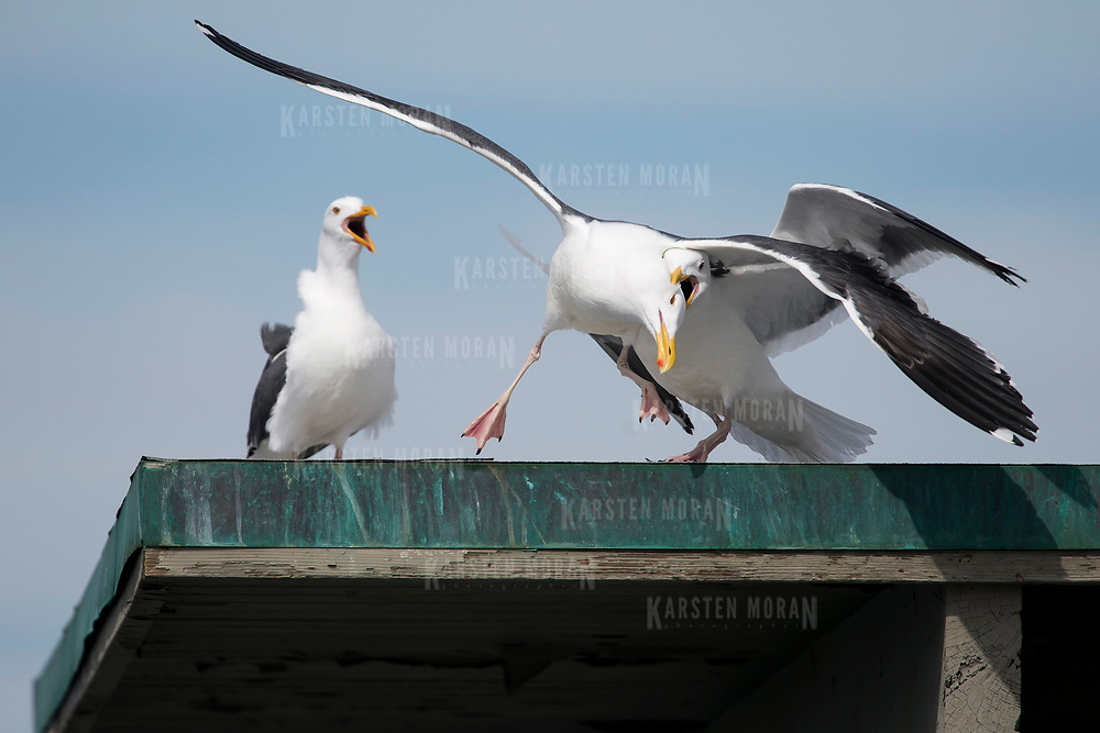 March 19, 2018 - San Diego, Calif. : Two seagulls fight -- one grabbing the other's head in its beak -- atop the Ocean Beach pier in San Diego, California on an early Spring day. CREDIT: Karsten Moran / Redux