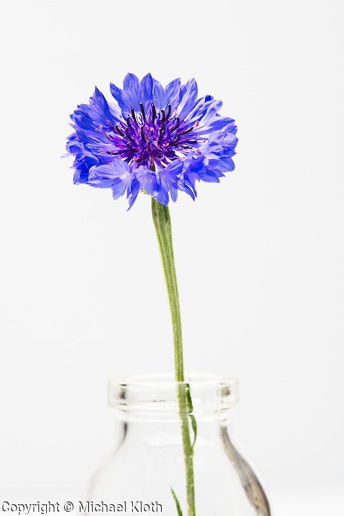 Blue wild flower still life in a glass vase photographed in a studio.  Fine art photography by Michael Kloth.