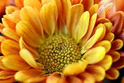 Detalhe de uma flor de crisântemo amarelo. Nome científico: Chrysanthemum x morifolium. FOTO: Jefferson Bernardes / Preview.com