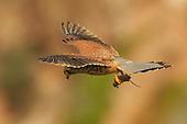 Falco_tinnunculus