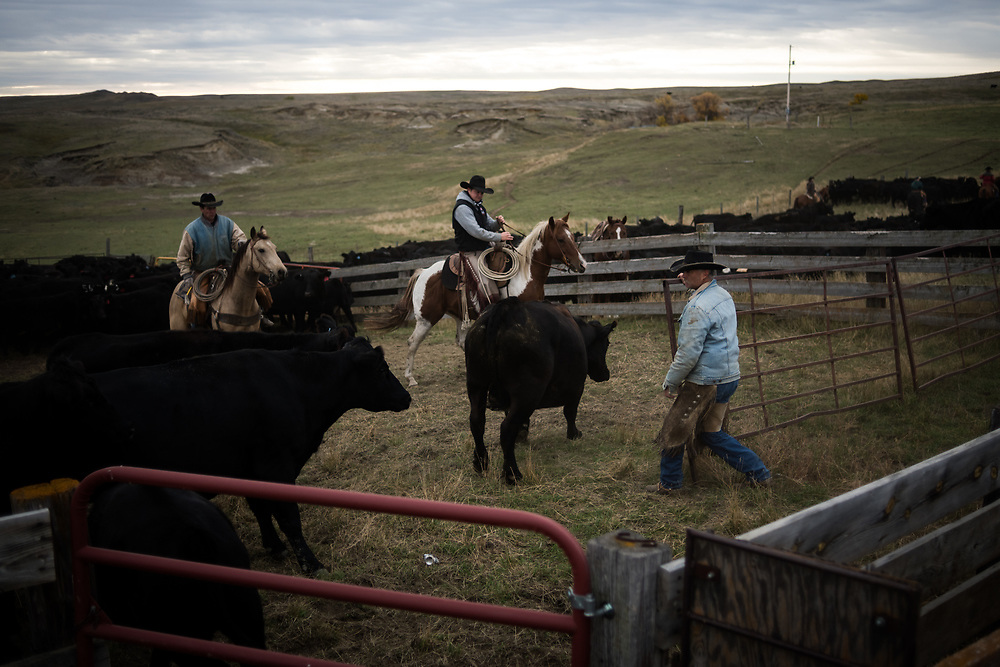 Scott Storm, right, dodges cattle while helping sort cows from calves on land owned by a grazing association west of Meadow, SD on October 8, 2017. Grazing associations provide a way for multiple ranchers to defray the costs of land owning and usage for grazing cattle and on occasion provide access to national grasslands and grazing areas.