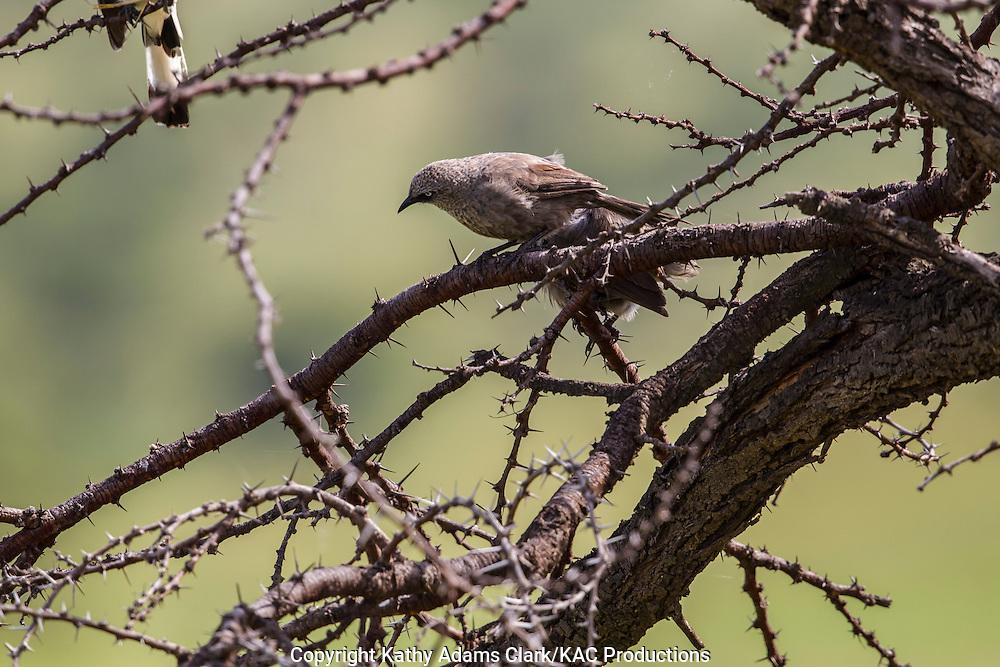 Unknown bird, Serengeti National Park, Tanzania, Africa.