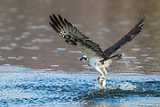 Osprey (Pandion haliaetus) Fishing-Sequence #2