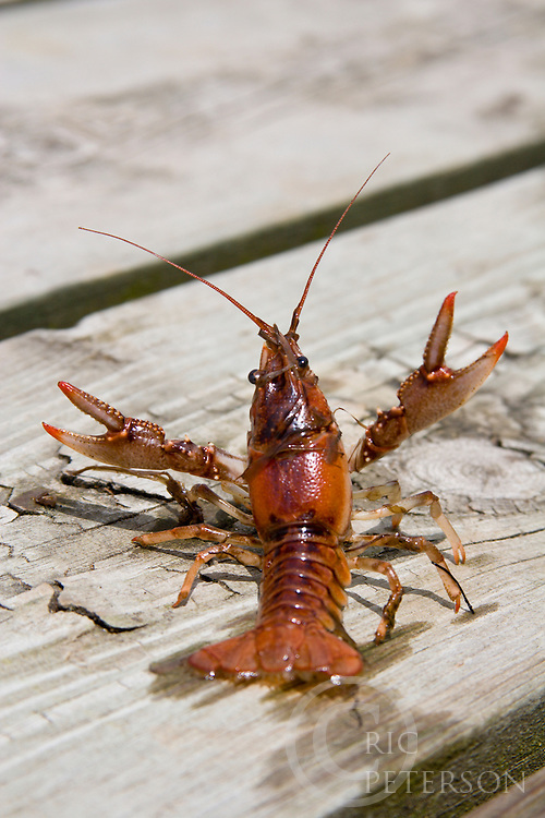 crayfish on wooden boards,