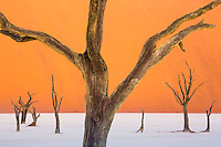 Dead camel thorn trees in Deadvlei, Namib-Naukluft National Park, Namibia.