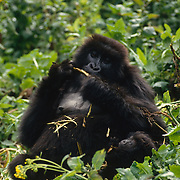Mother mountain gorilla foraging with baby in Volcanoes National Park Rwanda, Africa.