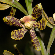 Prostechea farfanii, an orchid near the Interoceanic highway in Peru