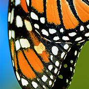 Monarch Butterfly wing detail;  Minnesota in wild.